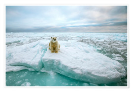 Poster  Polar bear sitting on a ice floe - Peter J. Raymond