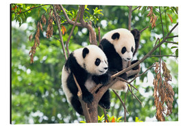 Stampa su alluminio  Young Pandas in a tree - Tony Camacho
