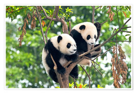 Poster  Young Pandas in a tree - Tony Camacho
