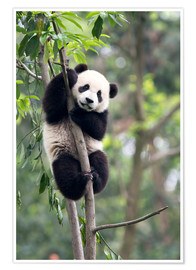 Poster  Panda on a tree - Tony Camacho