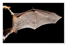 Poster Premium  Common pipistrelle bat wing - Alex Hyde