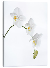 Stampa su tela  Orchid flowers (family Orchidaceae) - GAVIN KINGCOME