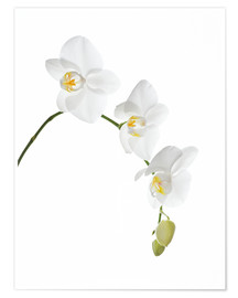 Poster Premium  Orchid flowers (family Orchidaceae) - GAVIN KINGCOME