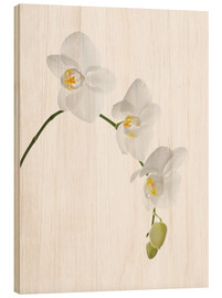 Stampa su legno  Orchid flowers (family Orchidaceae) - GAVIN KINGCOME
