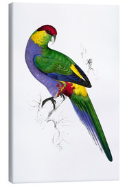 Stampa su tela  Red capped Parakeet 1 - Edward Lear