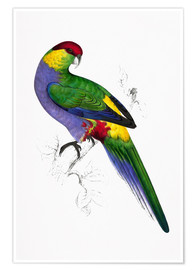 Poster Premium  Red capped Parakeet 1 - Edward Lear