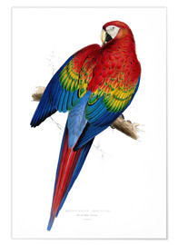 Poster Premium  Red & Yellow Macaw - Edward Lear