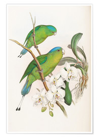 Poster Premium  Philippine Racket tailed Parrot - John Gould