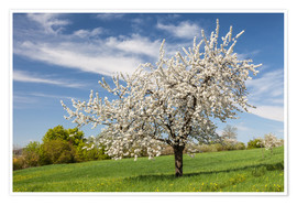 Poster Premium Blooming cherry tree