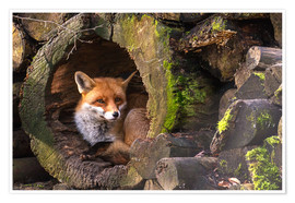 Poster  Fox in a hollow trunk - Cees Ginkel