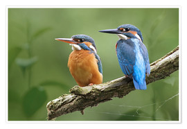 Poster Premium  Kingfisher Germany - WildlifePhotography
