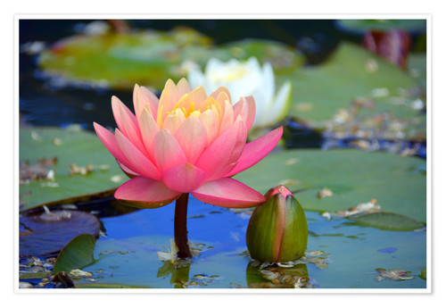 Poster Premium water lily