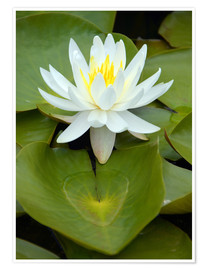 Poster Premium white water lily