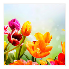Poster Premium Tulips with Water Drops