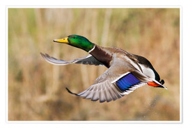 Poster  Mallard Drake Taking Flight - Ken Archer