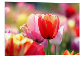 Stampa su schiuma dura  Beautiful colorful Tulips - Lichtspielart