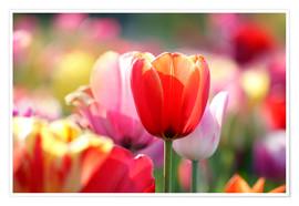Poster Premium Beautiful colorful Tulips