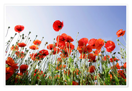 Poster Poppies low Angle View