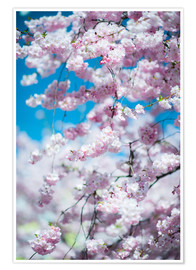 Poster Premium Cherry blossom in spring