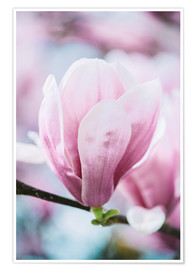 Poster Premium  Closeup of blossoming magnolia in spring - Peter Wey