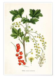 Poster  Red Currant - Carl Axel Magnus Lindman