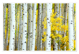Poster  birch forest - Rob Tilley