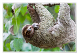 Poster  Brown-throated Sloth and her baby - Jim Goldstein