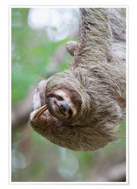 Poster  A Brown-Throated Sloth (Bradypus variegatus) scratches its neck with its distinctive claw. Corcovado - Jim Goldstein
