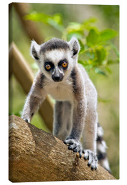 Tela  Baby ring-tailed lemur (lemur catta) in the Anja private community reserve near Ambalavao in souther - Gallo Images