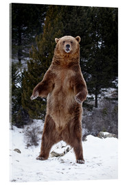 Stampa su vetro acrilico  Grizzly Bear standing in the snow - James Hager