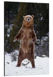 Stampa su alluminio  Grizzly Bear standing in the snow - James Hager