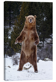 Stampa su tela  Grizzly Bear standing in the snow - James Hager