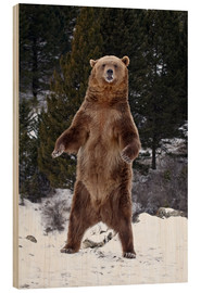 Stampa su legno  Grizzly Bear standing in the snow - James Hager