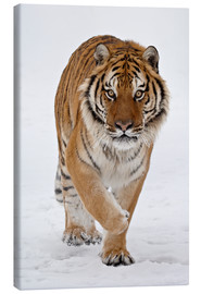 Stampa su tela  Siberian Tiger in the snow - James Hager