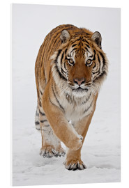 Stampa su schiuma dura  Siberian Tiger in the snow - James Hager