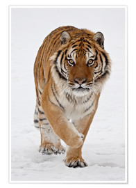 Poster Premium  Siberian Tiger in the snow - James Hager
