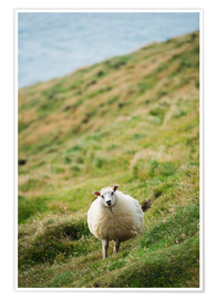 Poster Premium Thick sheep, Heimaey Island