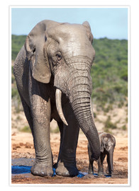 Poster Premium  African elephants (Loxodonta africana) adult and baby, Addo National Park, Eastern Cape, South Afric - Ann & Steve Toon