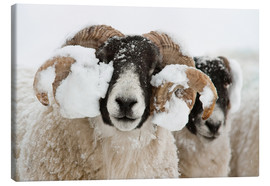 Stampa su tela  Northumberland blackface sheep in snow, Tarset, Hexham, Northumberland, UK - Ann & Steve Toon