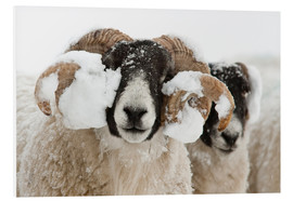 Forex  Northumberland blackface sheep in snow, Tarset, Hexham, Northumberland, UK - Ann & Steve Toon