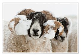 Poster Premium  Northumberland blackface sheep in snow, Tarset, Hexham, Northumberland, UK - Ann & Steve Toon
