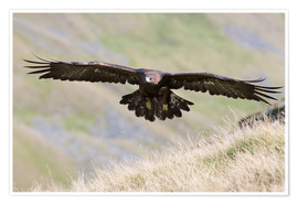 Poster Premium  Golden eagle, Aquila chrysaetos, flying over moorland, captive, UK - Ann & Steve Toon