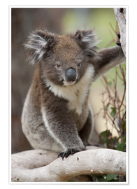 Poster Premium  Koala in eucalyptus tree - Thorsten Milse