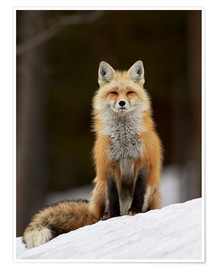 Poster Premium  Red Fox (Vulpes vulpes) (Vulpes fulva) in the snow, Grand Teton National Park, Wyoming, United State - James Hager