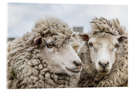 Stampa su vetro acrilico  Sheep waiting to be shorn, Falkland Islands - Michael Nolan