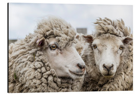 Alluminio Dibond  Sheep waiting to be shorn, Falkland Islands - Michael Nolan