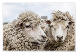 Poster Premium  Sheep waiting to be shorn, Falkland Islands - Michael Nolan