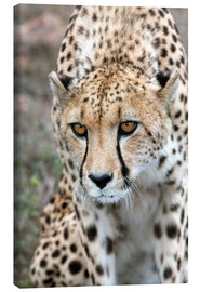 Stampa su tela  Cheetah approaching prey, Western Cape, South Africa, Africa - Fiona Ayerst