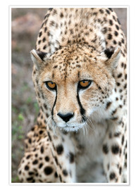 Poster  Cheetah approaching prey, Western Cape, South Africa, Africa - Fiona Ayerst