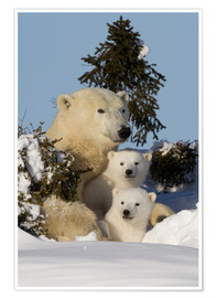 Poster  Polar bear (Ursus maritimus) and cubs, Wapusk National Park, Churchill, Hudson Bay, Manitoba, Canada - David Jenkins